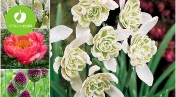 Skaistie peoniju, flokšu, vizbulīšu, sīpoliņu u.c. ziedu un augu stādi