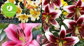 IEPRIEKŠPĀRDOŠANA! Krāšņo koku liliju (Tree Lily) sīpoli - 31 šķirne